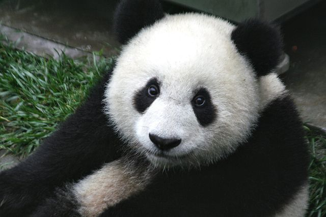 640px-panda_cub_from_wolong_sichuan_china