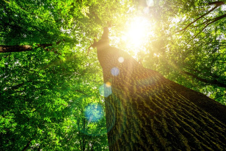 39035407 - forest trees. nature green wood, sunlight backgrounds.