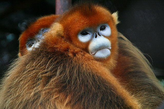 640px-Golden_Snub-nosed_Monkeys